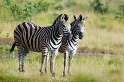 Burchells zebra (Equus quagga burchellii) Royalty Free Stock Photography
