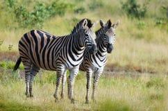 Burchells zebra (Equus quagga burchellii). Two Burchells zebra (Equus quagga burchellii) standing in Kruger National Park,  South Africa Royalty Free Stock Photography
