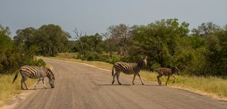 Zebra family walking across a road. Burchell`s zebra family walk across a road image with copy space in landscape format Stock Image