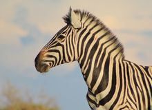 African Wildlife - Zebra, Mare looking into future Royalty Free Stock Photography
