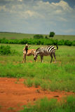 Burchell's Zebra and foal Stock Photo