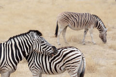 Burchell's zebra with foal, Equus quagga burchellii. Royalty Free Stock Photo