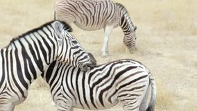 Burchell's zebra with foal nibbling fur stock video