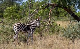 Burchell`s Zebra foal in the wild royalty free stock photography