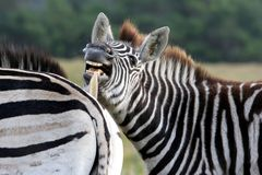 Burchell's Zebra funny face. Zebra showing it's teeth to it's mate Royalty Free Stock Photography
