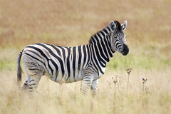 Burchell's Zebra in grassland Royalty Free Stock Image