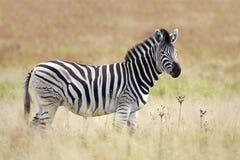 Burchell's Zebra in grassland Royalty Free Stock Image