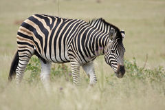 Burchell's Zebra in Grassland Royalty Free Stock Photos