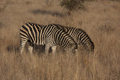 Burchell's zebra grazing Royalty Free Stock Photos