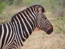 Burchell`s zebra Stock Photos