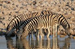 Burchell`s zebra herd drink on a waterhole, etosha nationalpark, namibia Royalty Free Stock Photography