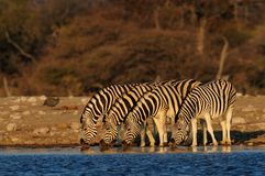 Burchell`s zebra herd drink on waterhole, etosha nationalpark, namibia Royalty Free Stock Photo
