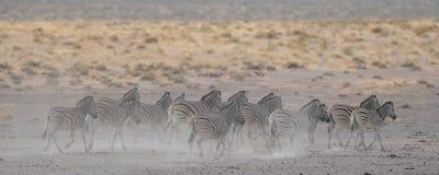 Burchell`s zebra herd in dust, etosha nationalpark, namibia Royalty Free Stock Photo