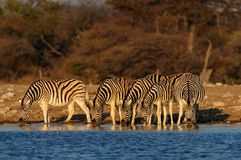 Burchell`s zebra herd  on waterhole, etosha nationalpark, namibia, equus burchelli Royalty Free Stock Photo