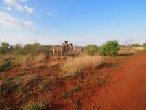 Burchell`s zebra Stock Images