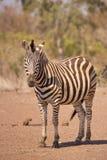 Burchell` s zebra in het Nationale Park van Kruger, Zuid-Afrika Stock Fotografie
