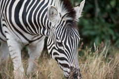 Burchell-` s Zebra im Nationalpark Kruger Stockbild