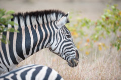 Burchell-` s Zebra im Nationalpark Kruger Stockfotos