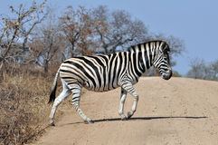 Burchell S Zebra In Africa Royalty Free Stock Image