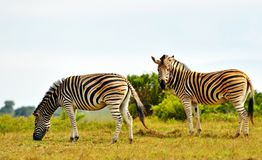 Burchell's Zebra. In the Kap River Nature Reserve, Eastern Cape South Africa Royalty Free Stock Photos