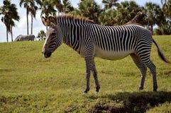 Burchell`s zebra Stock Photography