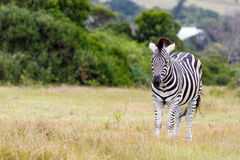 Burchell's Zebra Looking. Kragga Kamma Game Park in Port Elizabeth lush coastal forest and grassland is home to vast herds of African game stock photography