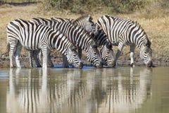 Burchell's zebra lub równiny zebra pije, Południowa Afryka Obrazy Royalty Free