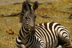 Burchell's Zebra Lying Down. Burchell's zebra in Botswana, South Africa Royalty Free Stock Images