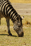 Burchells Zebra Grazing Close By Stock Image