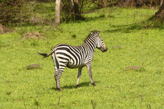 Burchell's Zebra in a meadow Stock Photos