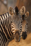 Burchell's zebra mirrored. Two Burchell's zebra, plain's game, in botswana,africa Stock Images