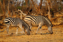 Burchell's zebra mirrored. Two Burchell's zebra, plain's game, in botswana,africa Stock Photos