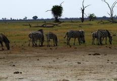 Burchells zebra herd grazing Royalty Free Stock Image