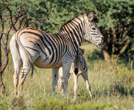 Burchell's Zebra Mother And Foal Stock Photos