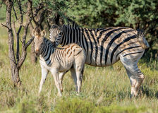 Burchell's Zebra Mother And Foal Royalty Free Stock Photography