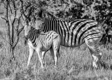 Burchell`s Zebra Mother And Foal Royalty Free Stock Photography