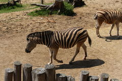 Burchell's zebra. This photo is from Zoo Jihlava in Czech Republic Royalty Free Stock Photos