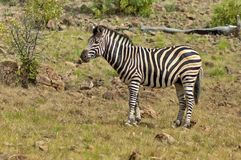 Burchell's zebra in Pilanesberg National Park Stock Photos