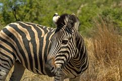 Burchell's zebra in Pilanesberg National Park Royalty Free Stock Photos