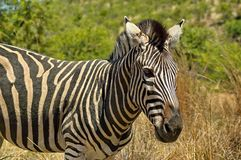 Burchell's zebra in Pilanesberg National Park Royalty Free Stock Photography