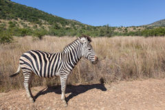Burchell´s Zebra in Pilanesberg National Park Royalty Free Stock Photos