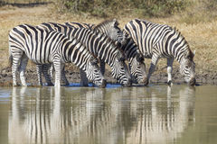 Burchell's Zebra or Plains Zebra drinking, South Africa. A small herd of Plain's Zebra drink from a natural pan in South Africa's Kruger park, (Equus quagga Royalty Free Stock Images