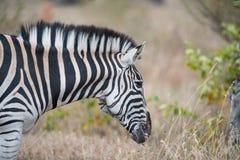 Burchell`s zebra Royalty Free Stock Images
