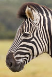 Burchell's Zebra Portrait. Kragga Kamma Game Park in Port Elizabeth lush coastal forest and grassland is home to vast herds of African game stock photography