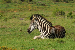 Burchell's Zebra resting Royalty Free Stock Images