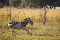 Zebra running Royalty Free Stock Photography