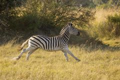 Zebra running Royalty Free Stock Photos