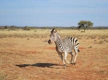 Burchell's Zebra Running Stock Photography