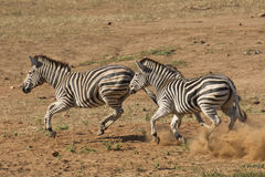 Burchell's Zebra running, South Africa Royalty Free Stock Photo