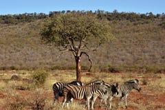 Burchell's zebra's Stock Images